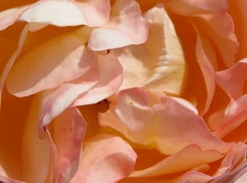 Tea Rose Absolute