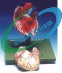 Human Youth Heart
