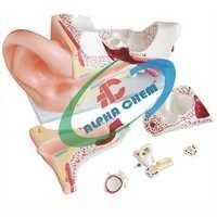 Human Ear Model 6 Parts