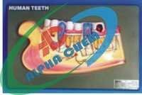 Human Lower Jaw with Teeth