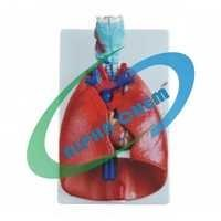 Human Heart and Lungs
