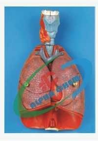 Human Heart with Lungs & Larynx