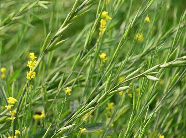 Sitara - Sringar improved mustard variety