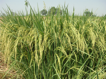Surjeet Basmati 1- High yielding and salt tolerant paddy variety