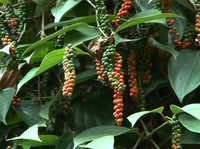 Zion Mundi-Improved Black Pepper Variety