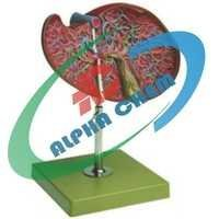 Human Liver with Gallbladder