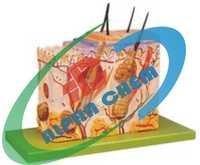 Human Skin Anatomical Model