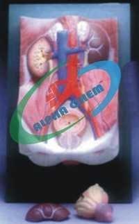 Human Urinary Organs Model