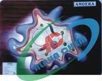 Amoeba Proteus Model