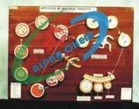 Malarial Parasite Life History model