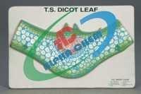 Dicot Leaf T.S