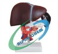 Liver, Pancreas & Duodenum Model