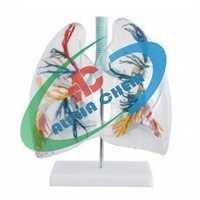 Lungs Segment Transparent Model