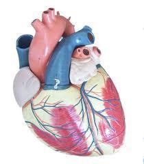 Jumbo Heart Model