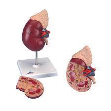 Human Kidneywith Adrenal Gland
