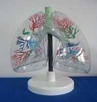 Model of theTransparent Lung Segment