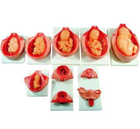 The Development Process for Fetus