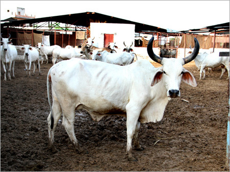 Haryana White Cow