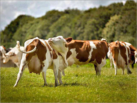 Sahiwal Cattle Cow