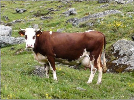 Karan Swiss Cow
