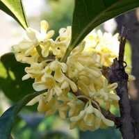 Osmanthus Absolutes
