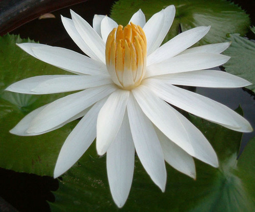 White Lotus Absolutes