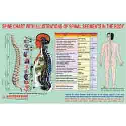ACP Spine Chart - Spinal Segments