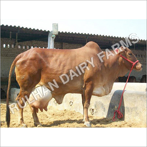Top Quality Sahiwal Cow