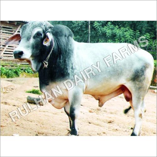 Indian Tharparkar Bull