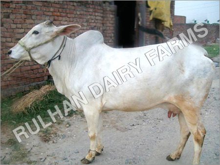 Hariana Cattle Breed