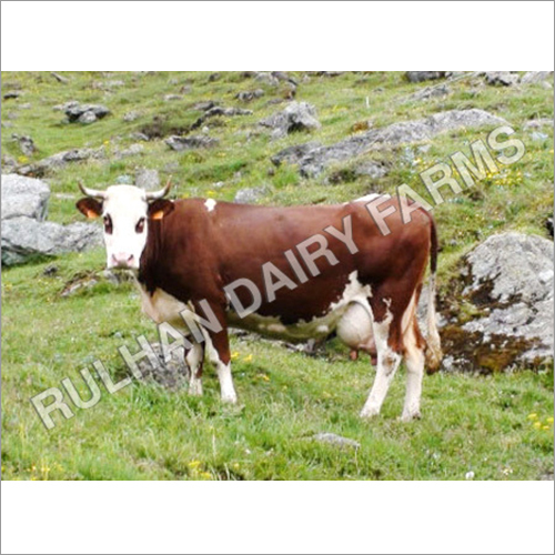 Exotic Cattle Breeds