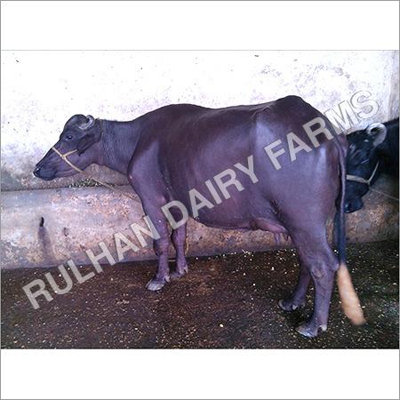 Murrah Buffalo Supplier in Jind