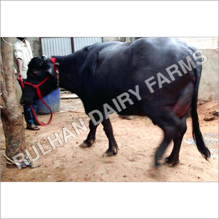 Murrah buffalo Supplier in Haryana