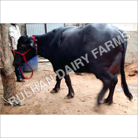 Murrah buffalo Supplier in Haryana