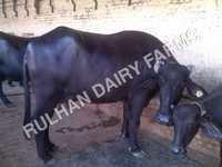 Murrah Livestock