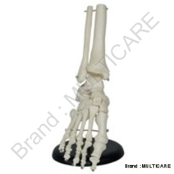 Foot Joint Life Size Model
