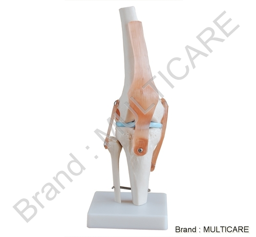 Knee Joint Life Size Model