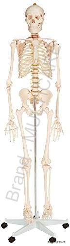 Human Skeleton Life Size Model (Tall 170 cm)