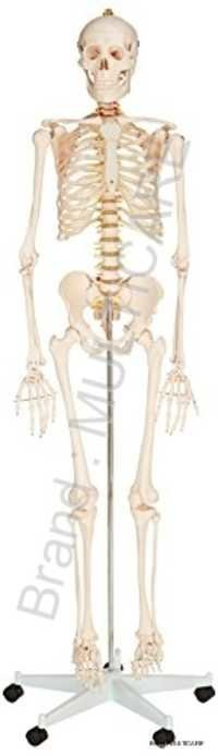 Human Skeleton Life Size Model (Tall 170 cm)