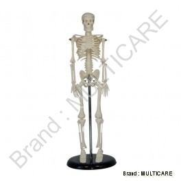 Mini Human Skeleton ( Tall 42 cm)