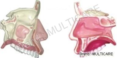 Anatomical Nasal Cavity Model