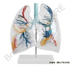 Model Of The Transparent Lung Segment