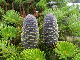 Abies pindrow