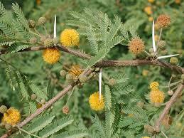 Hedge Plants Seeds