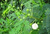 Acacia leucophloea