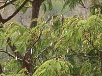 Albizia chinensis