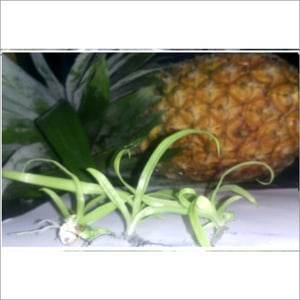 Md2S Tissue Culture Pineapple Plant