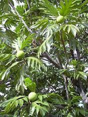 Artocarpus chaplasha