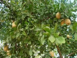 Balanites roxburghii