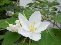 Bauhinia Racemosa